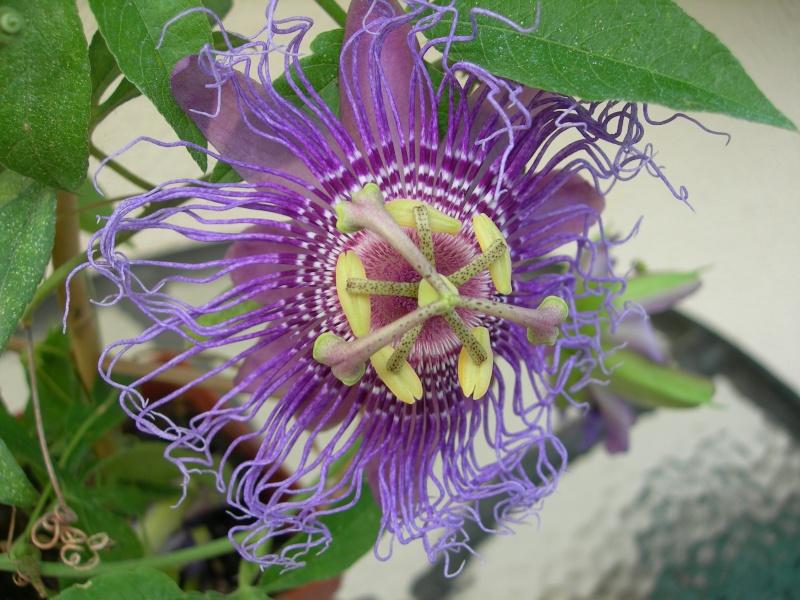 Passiflora yucatanensis  Passif13