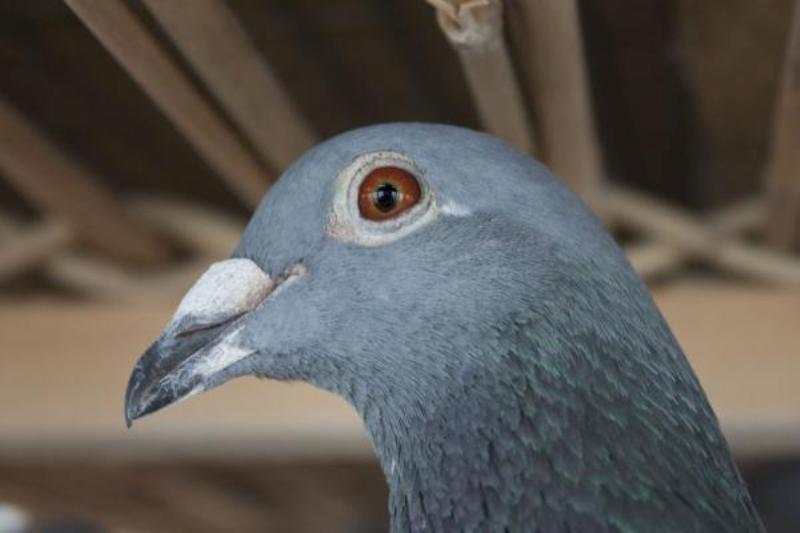 Le transport de pigeons voyageurs Pigeon10