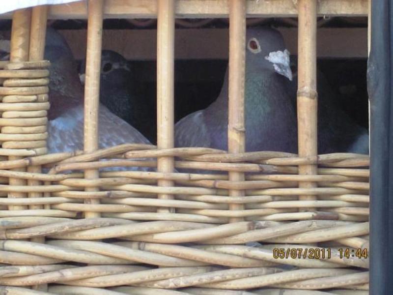 Le transport de pigeons voyageurs Pigeon12
