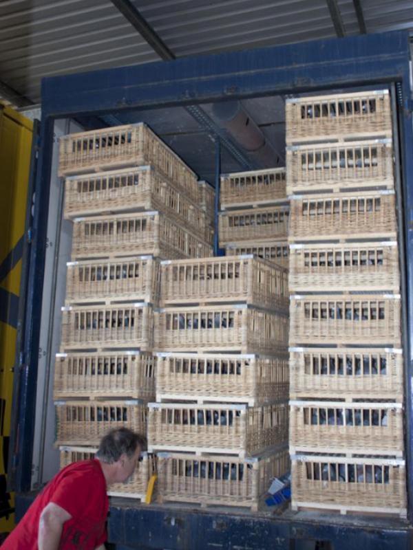 Le transport de pigeons voyageurs Pigeon17