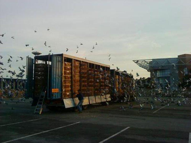 Le transport de pigeons voyageurs Pigeon21