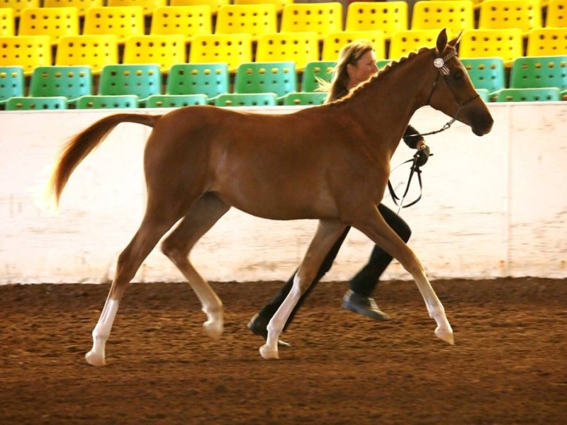Chestnut yearling part bred Arabian Filly Rsz_sa10