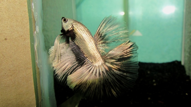 Copper VL F3 Betta_23