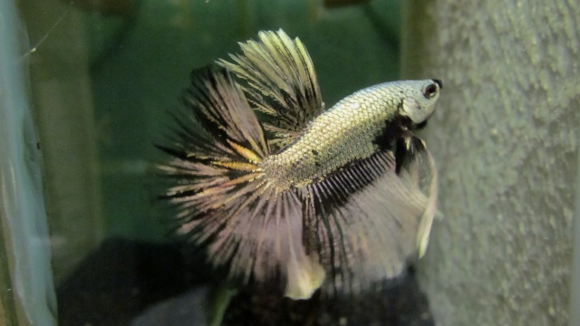 Copper VL F3 Betta_24