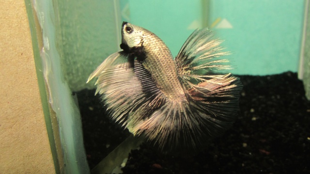 Copper VL F3 Betta_25