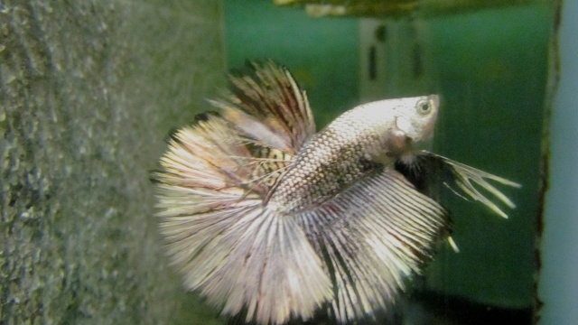 Copper VL F3 Betta_31