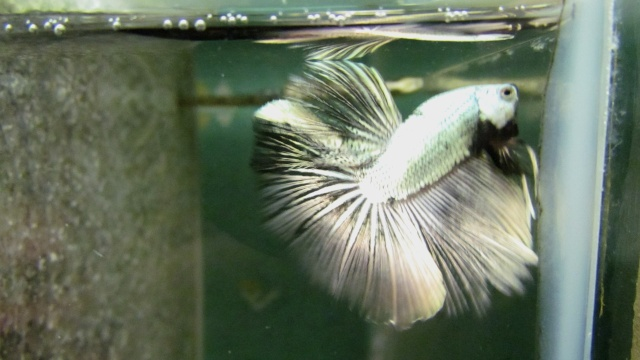 Copper VL F3 Betta_32