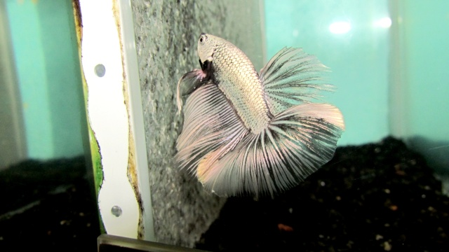 Copper VL F3 Betta_33