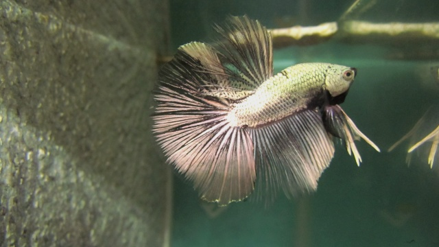 Copper VL F3 Betta_34