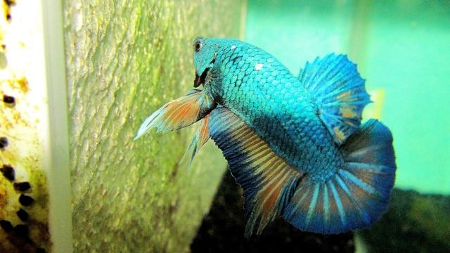 mâle pk bleu motif x Femelle pk bettadamour  Repro_53