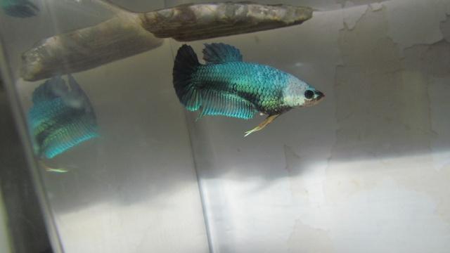 mâle pk bleu motif x Femelle pk bettadamour  Repro_55