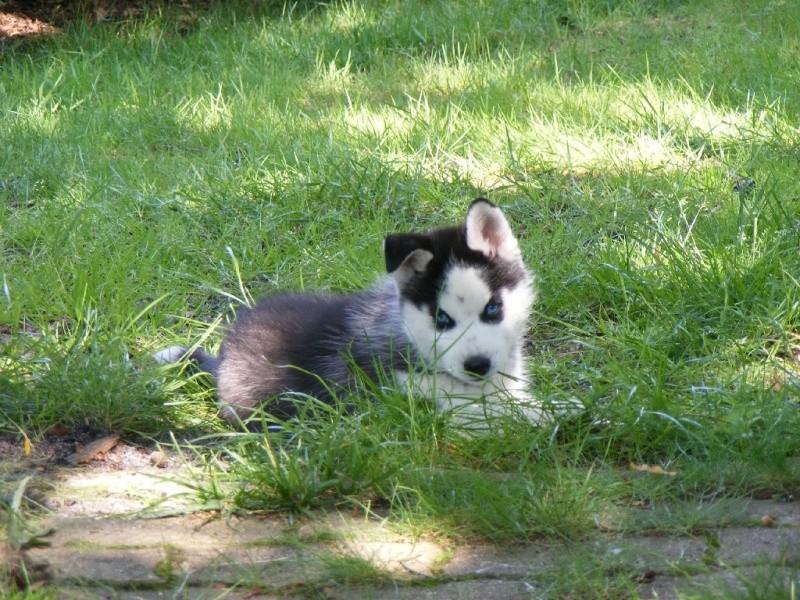 Nos loups grandissent, postez nous vos photos - Page 6 Dscf0614