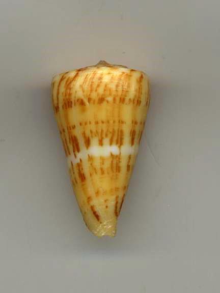 Conus (Dauciconus) boui   da Motta, 1988 Boui10