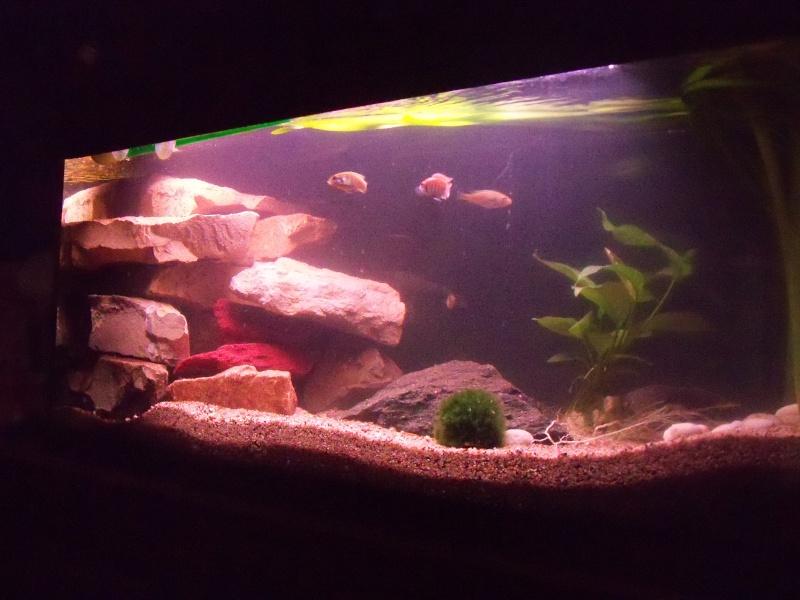 et de .... evolution d'un bac jusqu'a la fish room !! - Page 3 100_2524