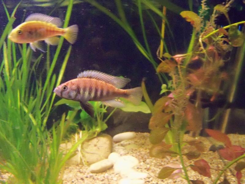 et de .... evolution d'un bac jusqu'a la fish room !! - Page 5 100_2612