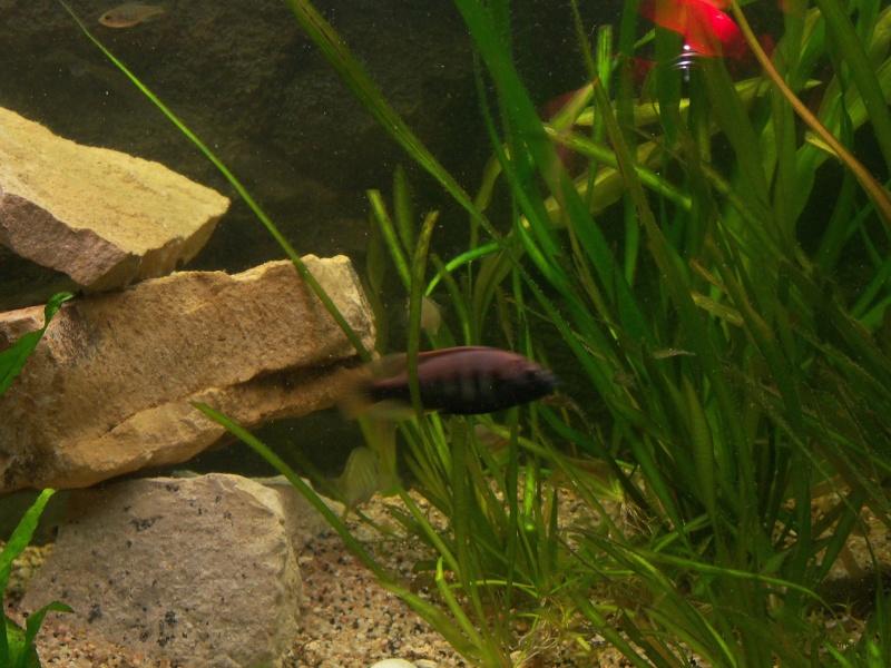et de .... evolution d'un bac jusqu'a la fish room !! - Page 13 100_3012
