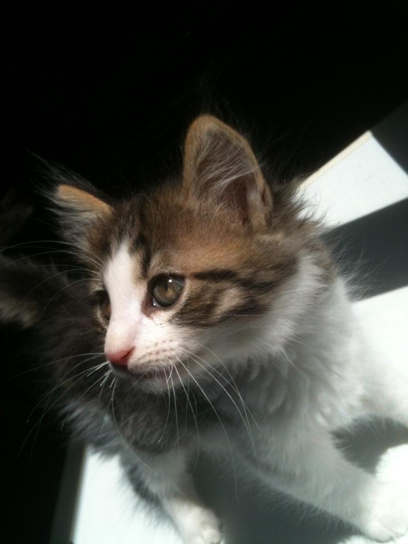 Hos'Moz, chaton femelle angora, 2 mois (Chateaubriant-44) Photo331