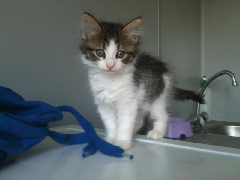 Hos'Moz, chaton femelle angora, 2 mois (Chateaubriant-44) Photo332