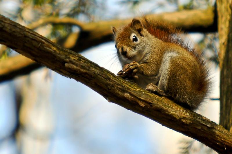 Petit écureuil roux Dsc_0615