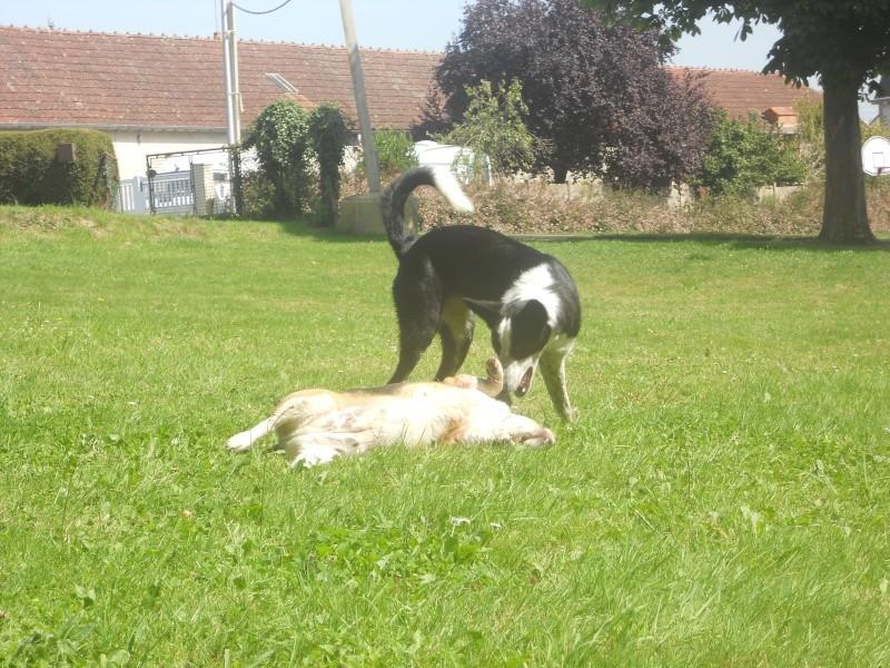 DOGMA, beagle femelle, 3 ans (72) Dogma_15