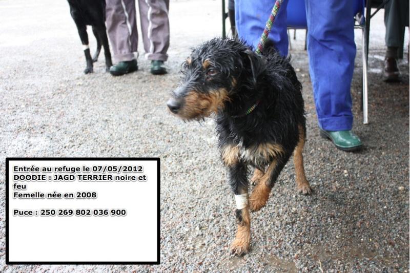 DOODIE Jagd Terrier noire et feu 250269802036900 Doodie10