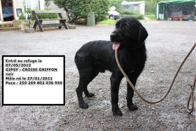 GIPSY Croisé Griffon noir 250269802036950 en CA Gipsy10