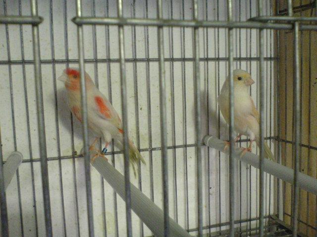 quelque couples de mon élevage 2012 Dsc00313