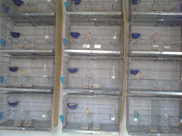 quelque couples de mon élevage 2012 Dsc00319