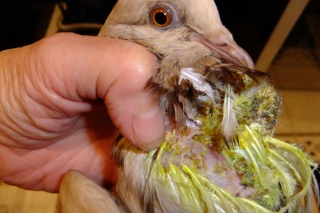 Help please - Found a poorly Pigeon with lumps on its chest - Page 2 00911