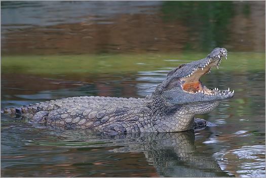 Sur le bord du Nil Crocod11