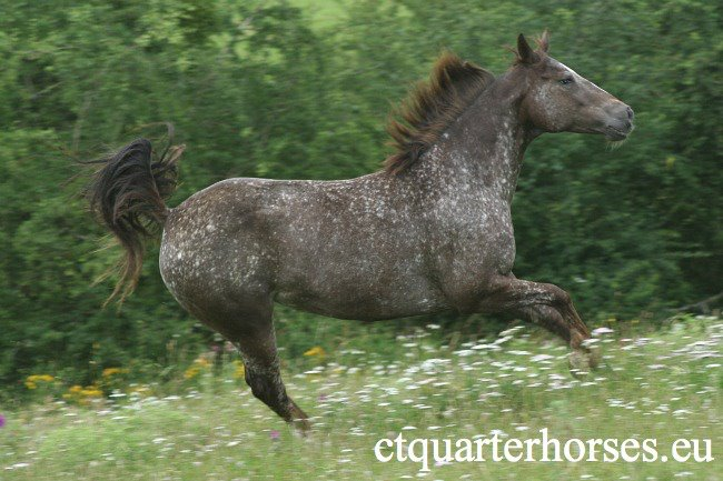 ATTRACTA REMEDYS appaloosa mare  - Page 2 48105310