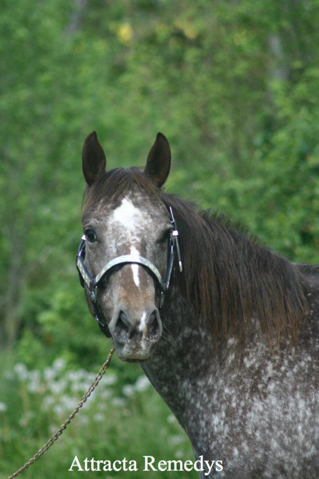 ATTRACTA REMEDYS appaloosa mare  53681310