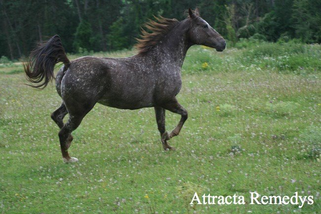 ATTRACTA REMEDYS appaloosa mare  - Page 2 55276210