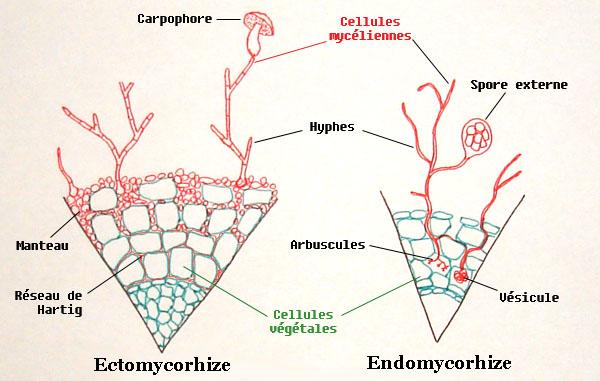Et si les champignons étaient bénéfiques à nos plantes? Coupe_10