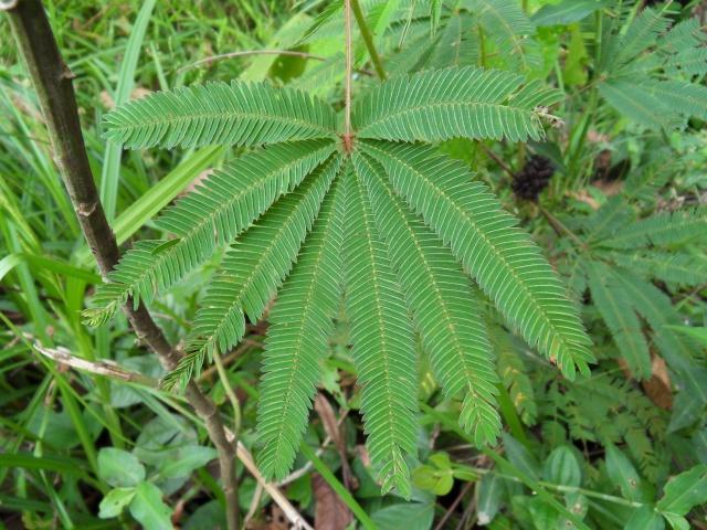 Une Sensitive du Pérou (pas un mimosa pudica) Sdc14613