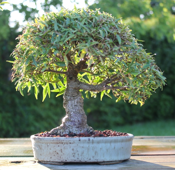 Shohin willow leaf ficus F_sali11