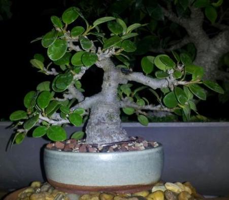 Shohin ficus golden coin Ficus_10