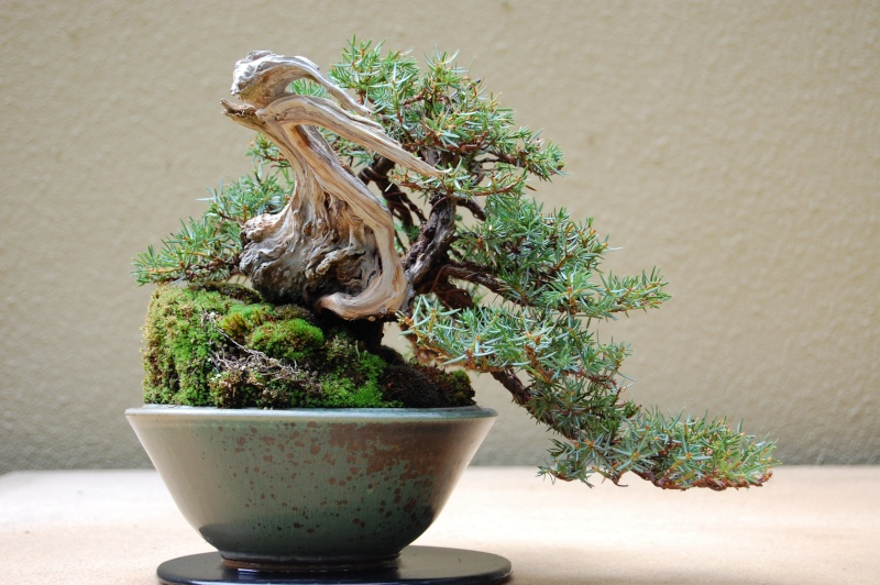 'Best In The Northwest' at Pacific Rim Bonsai Collection 07310