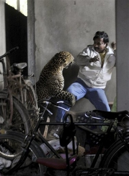 [India] Leopardo arrancó el cuero cabelludo a un hombre 18010