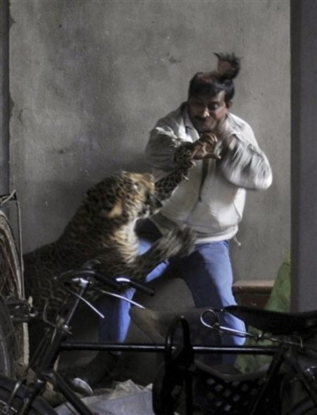 [India] Leopardo arrancó el cuero cabelludo a un hombre 2410