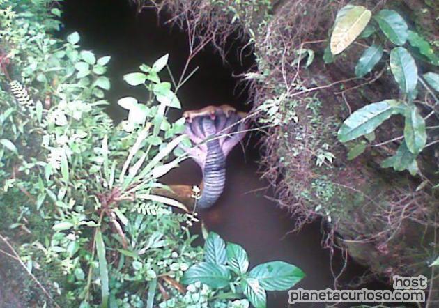 ¡Una terrorífica serpiente cobra de 5 cabezas! (Foto) Cobra-10
