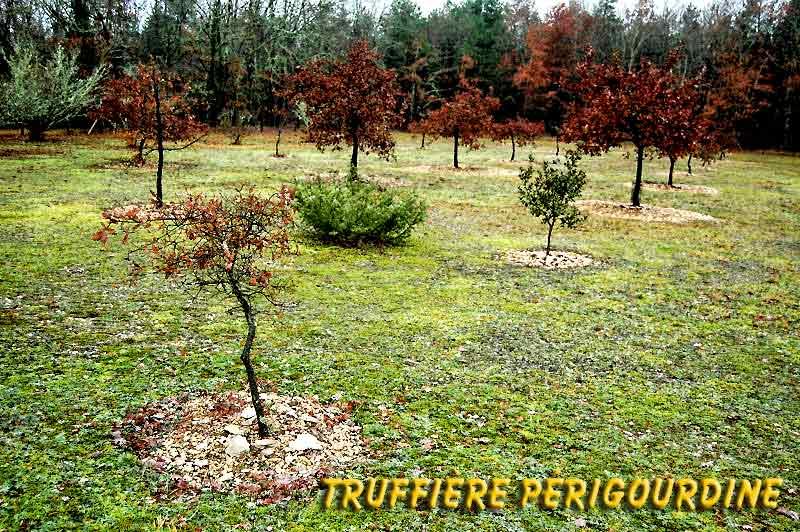 La truffe. Truffi10