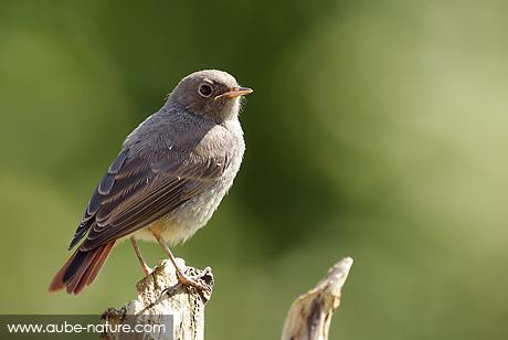 quel oiseau est ce? Rouge-10