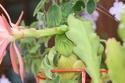 epiphyllum Img_2812
