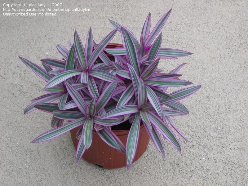 quelques fleurs de commelinaceaes... Trades10