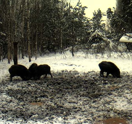 Boars cam, winter 2012 - 2013 - Page 2 2012-186