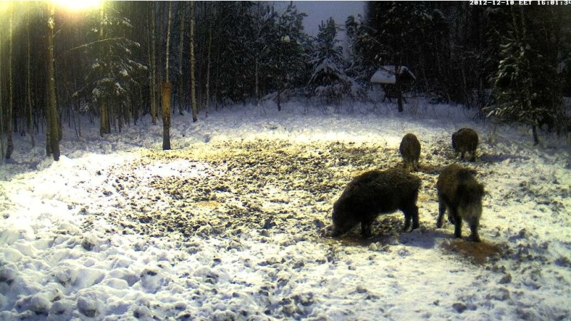 Boars cam, winter 2012 - 2013 - Page 2 2012-187