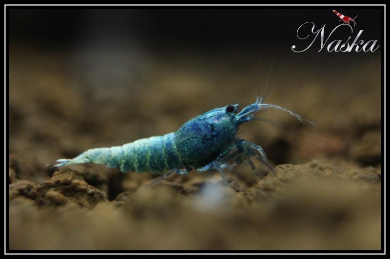 """Caridina cf  cantonensis var. """"taiwan bee Blue Bolt"""" 0129"""