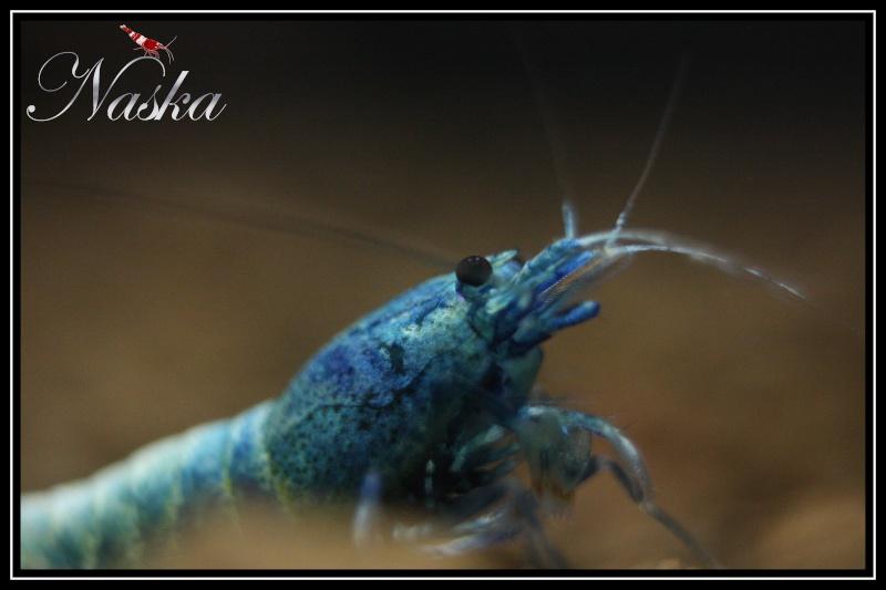 """Caridina cf  cantonensis var. """"taiwan bee Blue Bolt"""" 0223"""