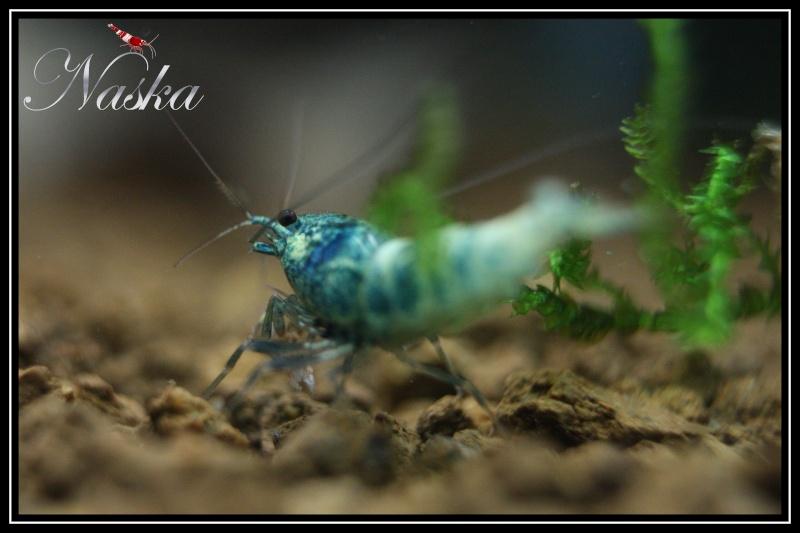 """Caridina cf  cantonensis var. """"taiwan bee Blue Bolt"""" 0322"""